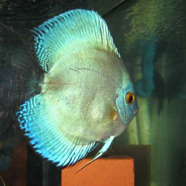 Heckels discus aquarium fish for sale for Archer fish for sale