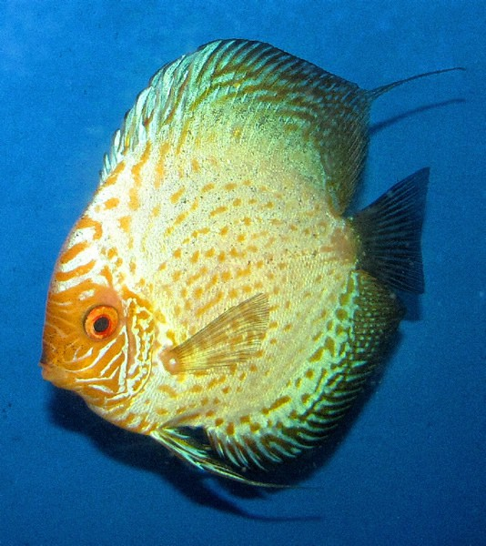 Gold melon discus 2 inches aquarium fish for sale for Solid gold fish