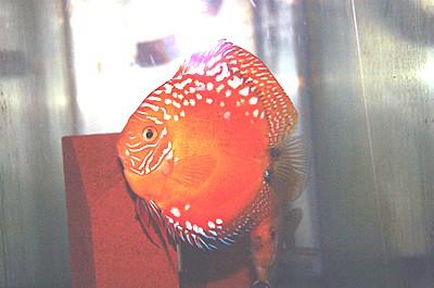 Mandarin Discus (2 Inches)