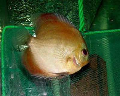 Mandarin Ghost Discus (2 Inches)
