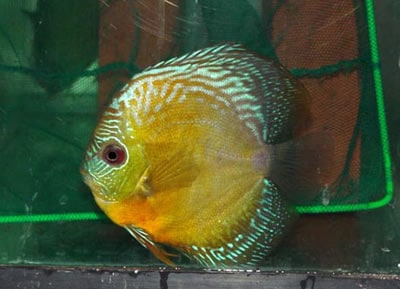 Yellow Snakeskin Discus (2 Inches)