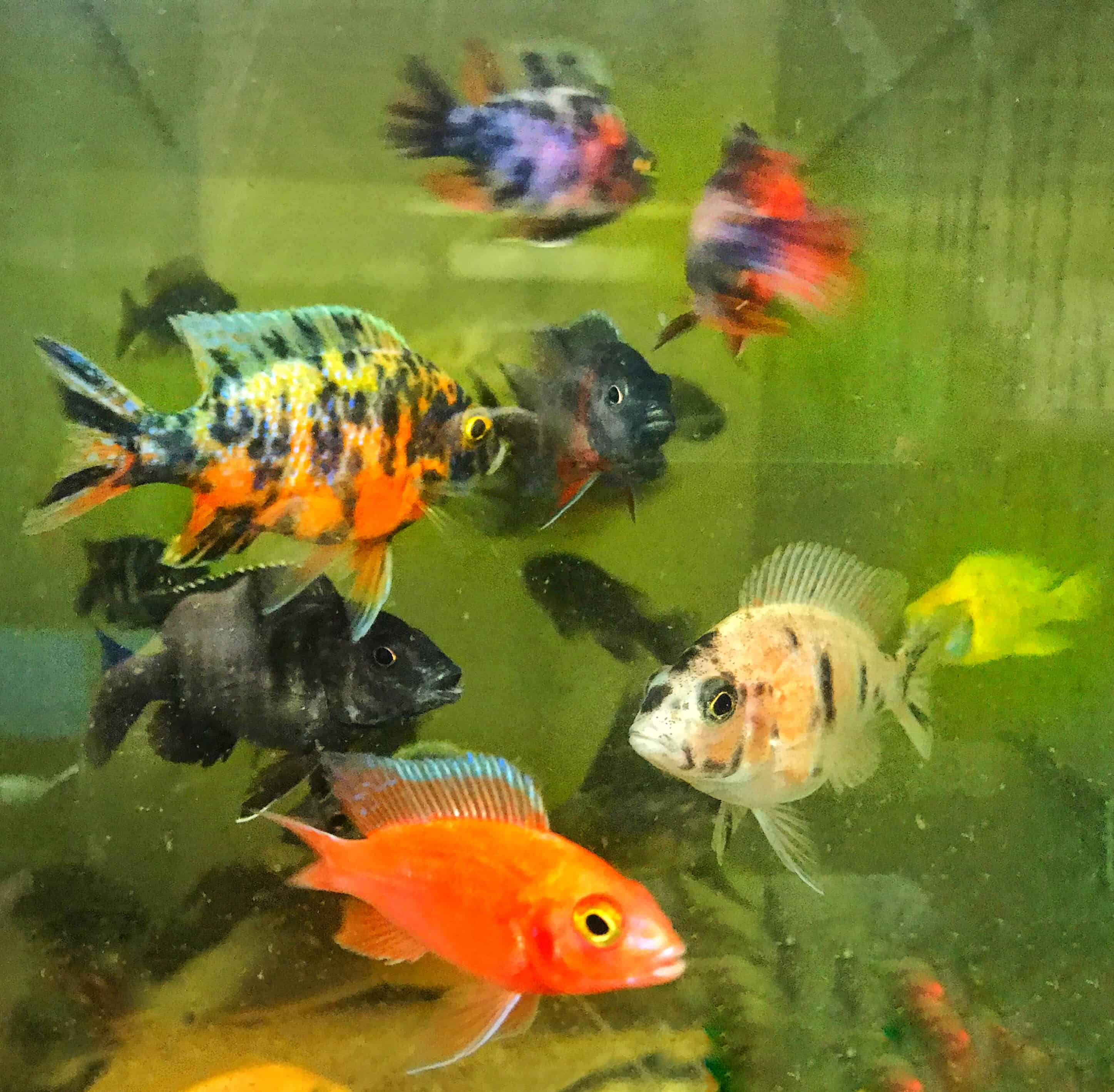 African Cichlids Peacock All Male Variety Pack 3 4 Inches