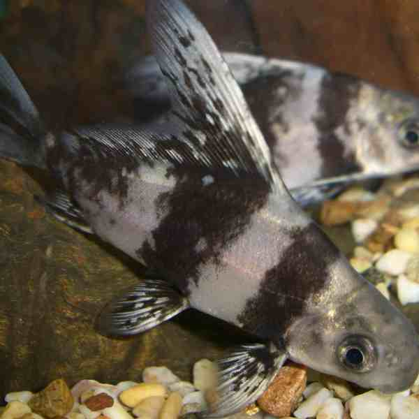 Freshwater sharks aquarium fish for sale for Archer fish for sale