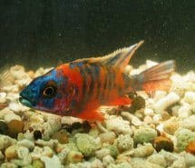 Orange Flash OB Peacock African Cichlid (3-4 Inches)