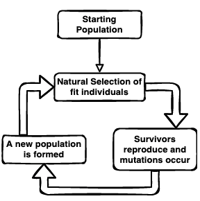 Flowchart showing the process of evolution by natural selection. Going from natural selection of fit individuals, to the survivors reproducing and mutations occuring, and then the new population is formed and finally arrow goes back to natural selection of fit individuals and cycle restarts.
