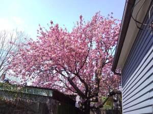 桜の花付きが100パーセントの2年前の5月です。