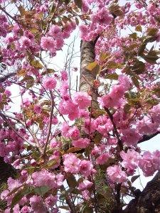 クローズアップの今年の桜。