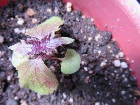 赤紫蘇君の芽