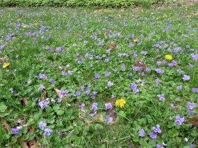 庭の芝生には紫の小さな花が満開です。