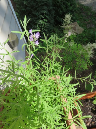 はじめてラベンンダーが咲きました!