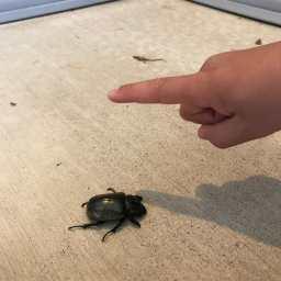親戚の家の玄関で見つけた巨大なカブトムシみたいな昆虫。体長5センチはあったかも。