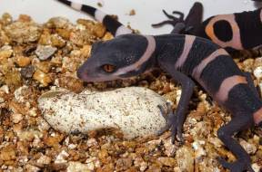 Goniurosaurus luii hatched at Cologne Zoo phot. T. Ziegler (2)