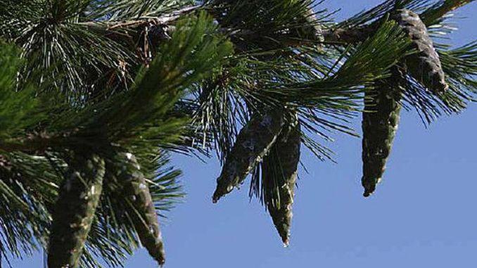 678px_pine