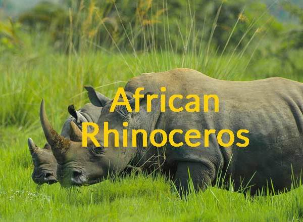 African Rhinoceros – Are They Critically Endangered?