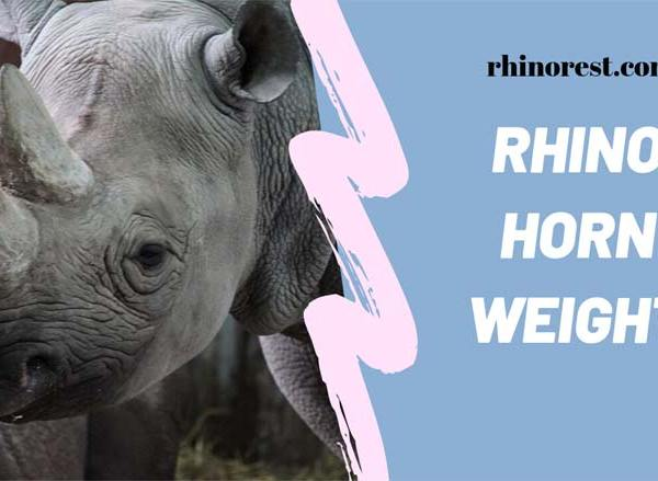 How Much does a Rhino Horn Weigh? Weight of the Rhino Horns