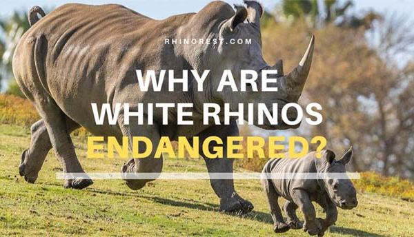 Why are White Rhinos Endangered – What Causes Extinction