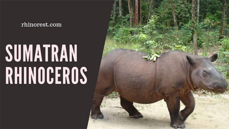 Sumatran Rhinoceros – Why are Sumatran Rhinos Important?