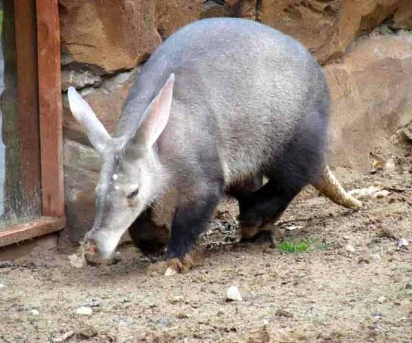 Aardvark Interesting, Cool, Weird, Fun Facts – Traits | Habitat