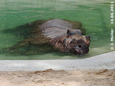 Bruno im Pool in der Außenanlage, 16. Juni 2011