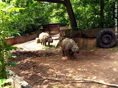 Pura (hinten) und Seto (vorne) im mittleren Teil der AUßenanlage, links hinten bei der Wand die Suhle, Tiergarten Nürnberg, 22. Juni 2011