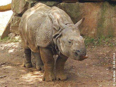 Seto, 22 Monate alt, Tiergarten Nürnberg, 22. Juni 2011