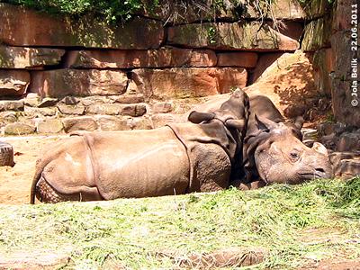 Mit Mama kuscheln ist schön! Seto (li) und Mama Purana (re), 22. Juni 2011