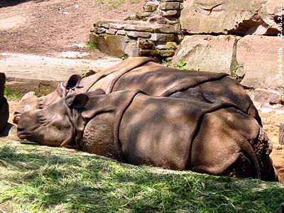 Synchron-Schlafen mit Mama Purana, Seto Paitala (vorne), Tiergarten Nürnberg, 22. Juni 2011