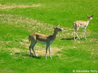 Hirschziegenantilope in der Nashornanlage, 23. Mai 2010