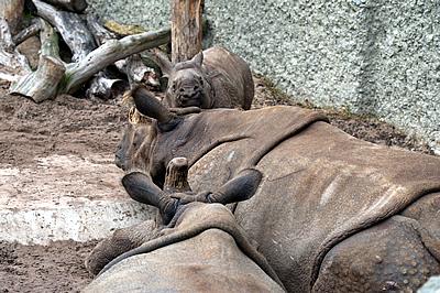 Weg da, hab Hunger und will zu Mama! Henna mit Quetta und Ellora (Foto: Zoo Basel)