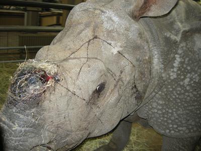 Autsch, da fehlt ihr Horn! Betty 36 Stunden, nachdem sie ihr Horn verloren hatte, 29. Februar 2011 (Foto: Dickhäuterhaus Friedrichsfelde)