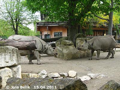... meckert laut vor sich hin und läßt den Jange verdutzt stehen. Sundari (re) und Jange (li), 15. April 2011