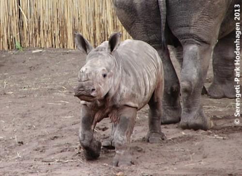 Die kleine Maken, rund zwei Monate alt, Serengeti-Park 2013 (Foto: Serengeti-Park)