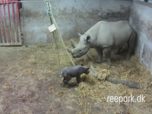 Ganz schön flott unterwegs! Bashiras Baby, wenige Stunden alt, 1. Jänner 2015 (Screenshot aus Video)