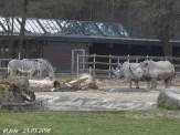 Zebras, Baby, Kibibi