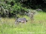 Zebra mit Jungtier