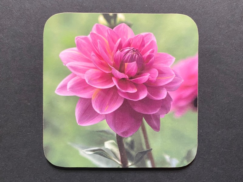 Pink Dahliar on a photographic hardboard coaster. Square hardboard coaster with rounded edges. Size: 90x90x3 mm Weight 0.1kg