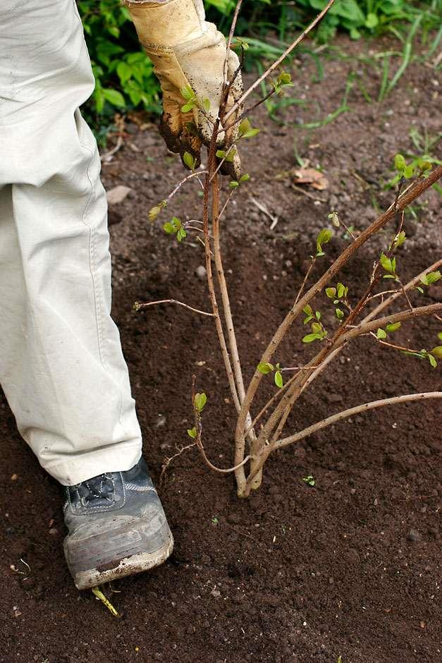 Planting cotinus