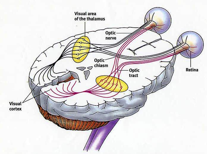 the eye back to the visual cortex, in the occipital lobe, in the back ...