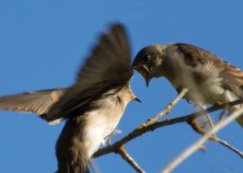 (3) Northern Rough-Wing Sparrows