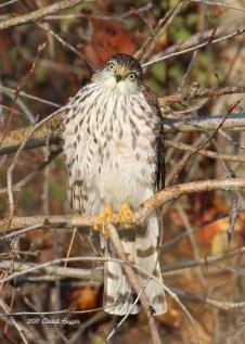 (5) Sharp-shinned Hawk