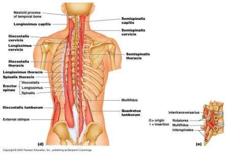L infiammazione dei muscoli paravertebrali lombari è molto spesso  responsabile di dolorosi mal di schiena che complicano anche i più piccoli  movimenti ... cdc162b41680