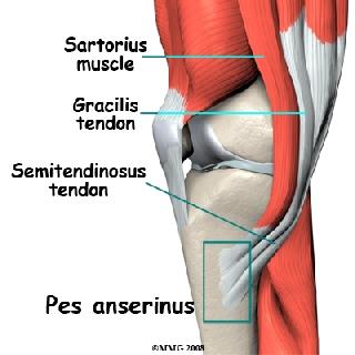 Per tendinite della zampa d oca si intende una infiammazione di alcune  strutture che si trovano nella regione interna del ginocchio  si tratta di  3 tendini  ... 4546f3ce409d