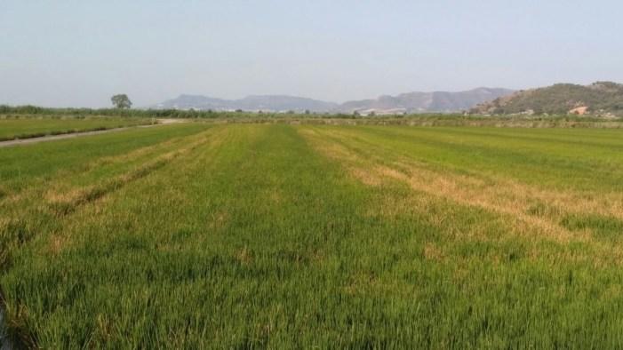 La esclerotinia del arroz se propaga por segundo año y amenaza con destruir toda la cosecha en áreas afectadas
