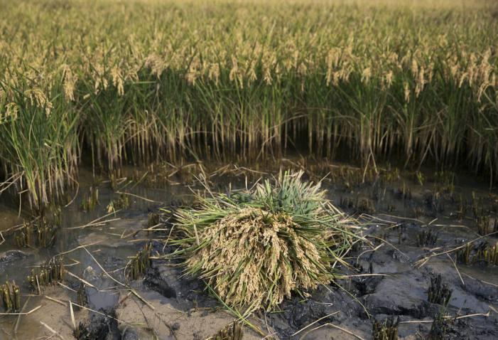LA UNIÓ denuncia que la falta d'aigua afecta en el final de la campanya al correcte desenvolupament de l'arròs
