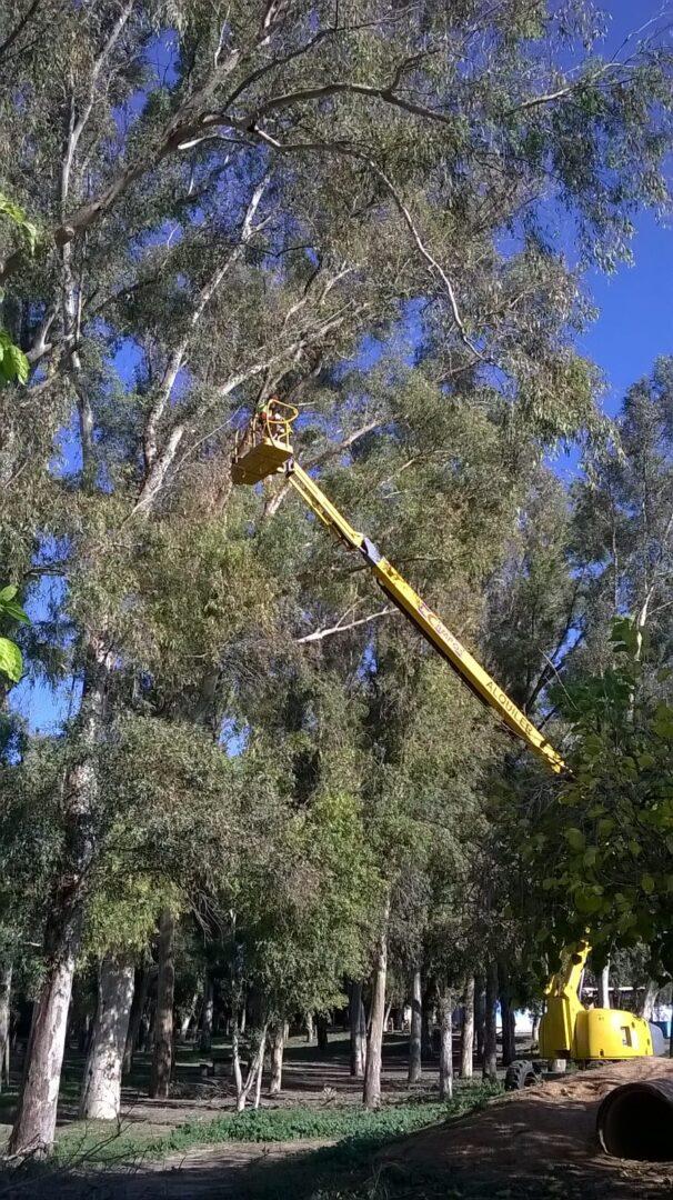 L'Ajuntament d'Algemesí realitza tasques de manteniment dels arbres de la zona d'esplai de la Xopera
