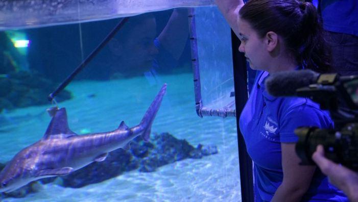 El Oceanogràfic es consolida com l'aquari amb major nombre de taurons d'Europa
