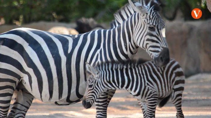Una nova cria de zebra naix en Bioparc València