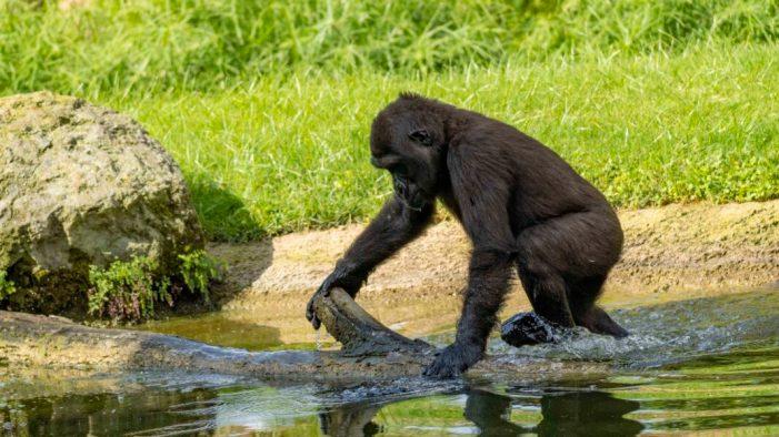 La xicoteta goril·la Virunga compleix 4 anys en BIOPARC València amb el millor regal: una victòria conservacionista per a la seua espècie