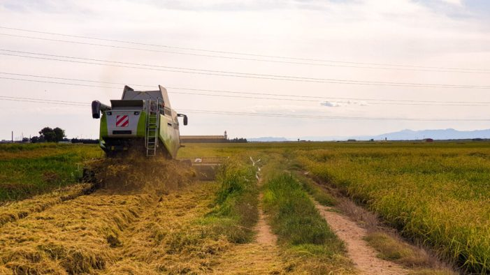 Alfafar inicia la campanya de recollida d'arròs