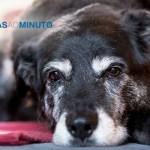 Saiba como manter a saúde dos cães idosos - Noticias ao Minuto